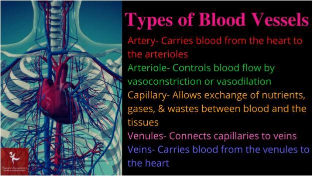 cardiovascular physiology homework online