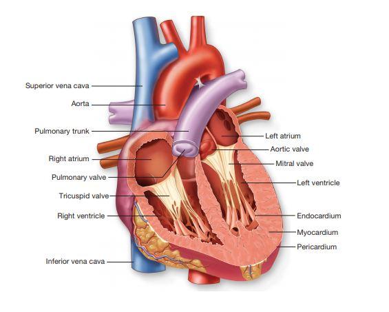 cardiovascular physiology homework