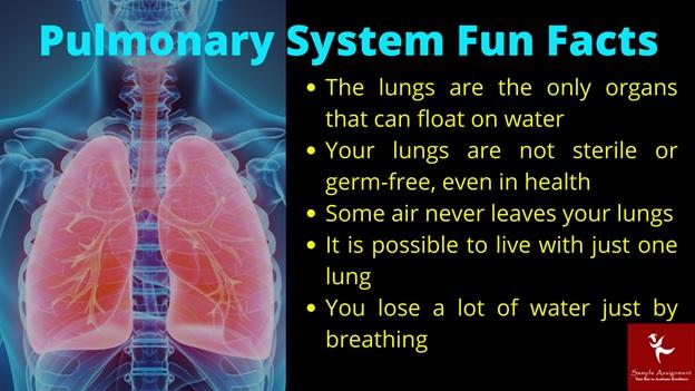 pulmonary system fun facts